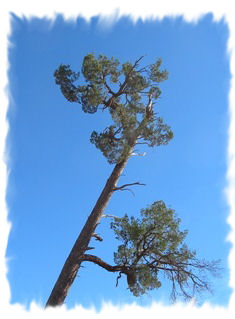 Cypress tree reaching for the sky
